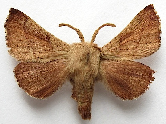 Western Tent Caterpillar Moth - Malacosoma californica & Western Tent Caterpillar Moth - Malacosoma californica - BugGuide.Net
