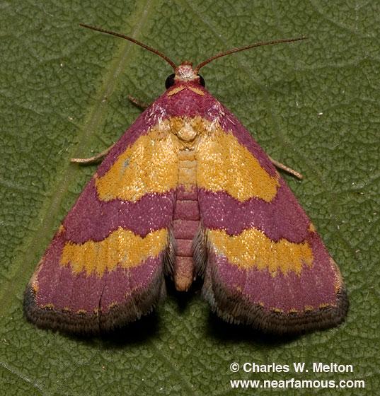 Phoenicophanta bicolor