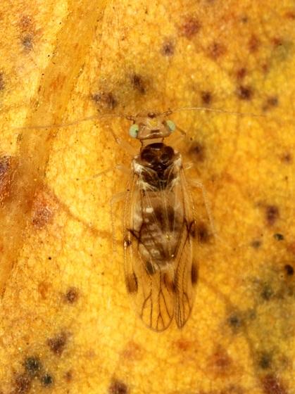 Pseudocaecilius citricola