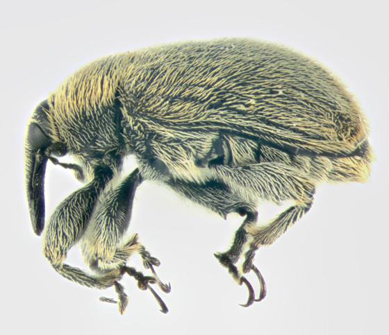 Curculionidae, lateral - Rhinusa tetra