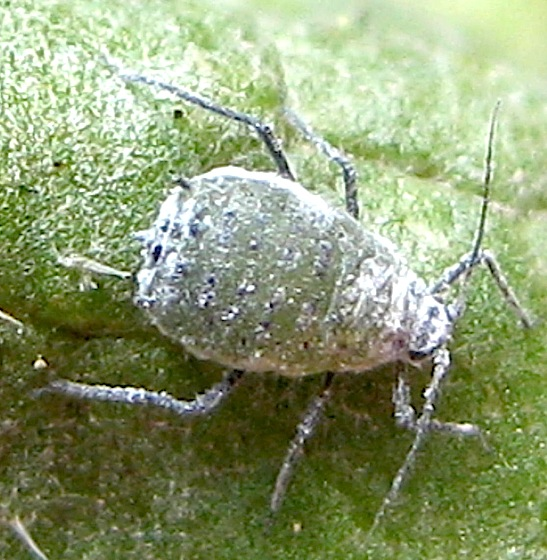 mealy cabbage aphid   brevicoryne brassicae   bugguide net