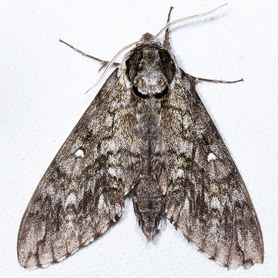 Waved Sphinx - Hodges#7787 - Ceratomia undulosa