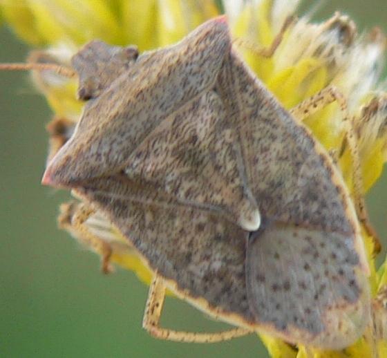 One-spotted Stink Bug - Euschistus variolarius