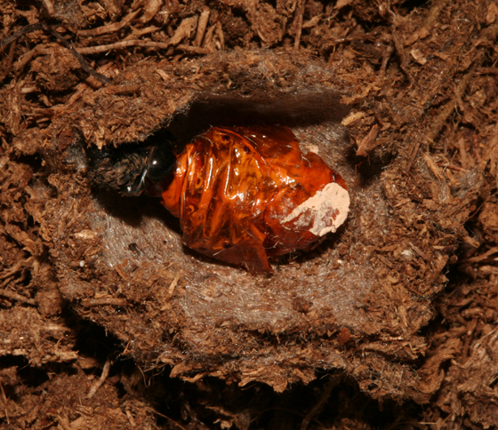Noctuidae, Brown Hooded Owlet, spent pupal case in cell - Cucullia convexipennis