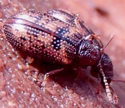 Beetles - Derodontus maculatus