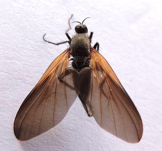 Pennsylvania Fly for ID - Rhamphomyia - female