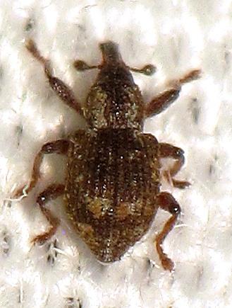 Curculionid ID Req. II - Tanysphyrus lemnae