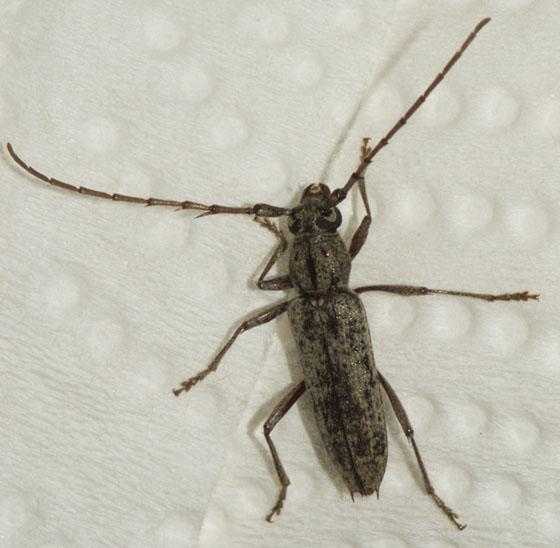 Unknown beetle - Elaphidion mucronatum