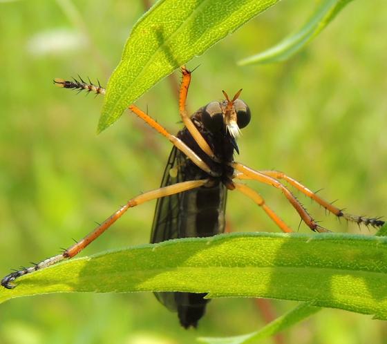 Asilidae - Diogmites platypterus