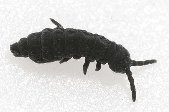 Snow Flea - Hypogastrura harveyi