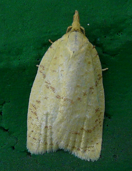 Moth - Cenopis pettitana