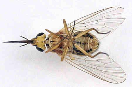 Bombyliidae - Tmemophlebia-like ? - female