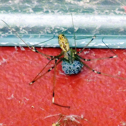 spider with eggs - Holocnemus pluchei