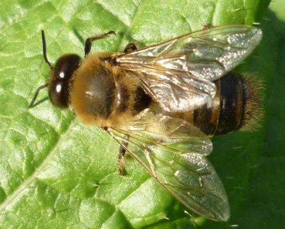 Honeybee (Drone) - Apis mellifera - male
