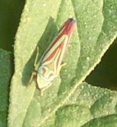 Cool looking hopper - Graphocephala