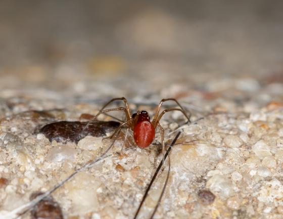 Spider - Glenognatha foxi