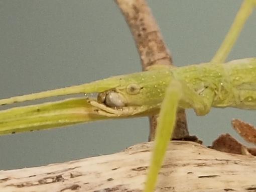 Walking Stick, Indian Stick Insect, Carausius morosus - Carausius morosus