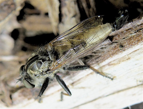 Robber Fly - Efferia albibarbis - male