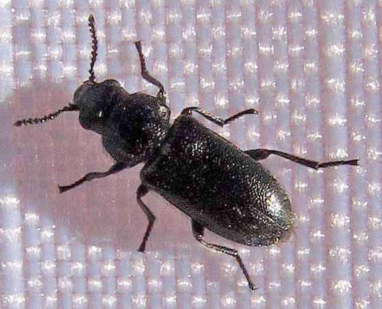 Small black beetle - Listropsis