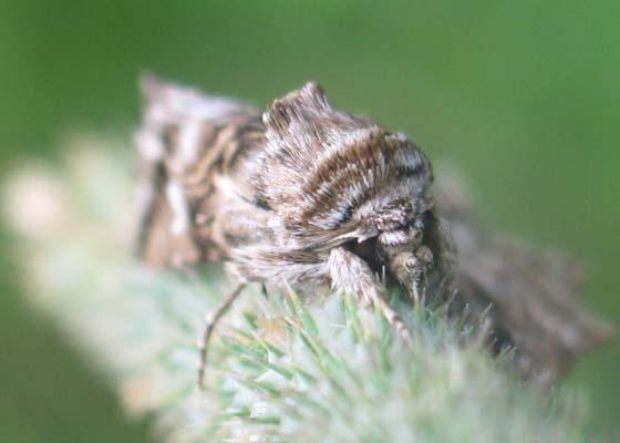What Moth? - Calophasia lunula