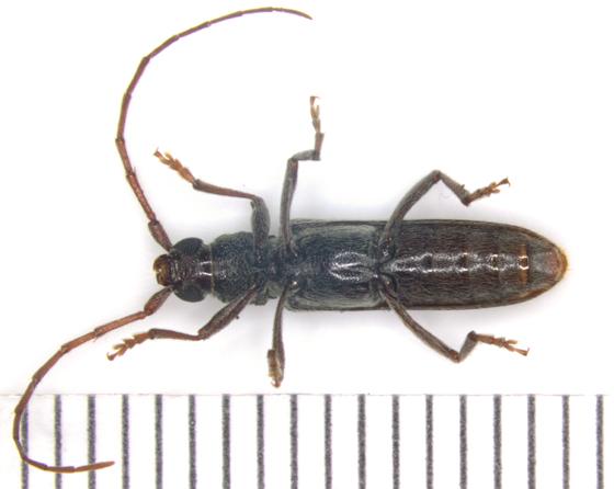 Cerambycidae, ventral - Anelaphus villosus
