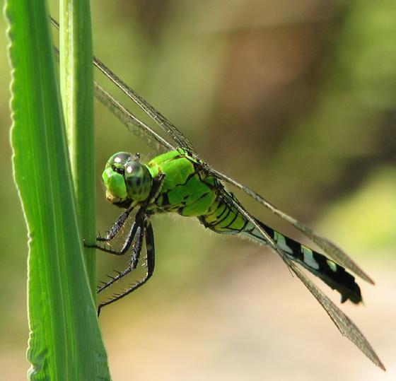 Eastern Pondhawk - Female - Erythemis simplicicollis - female