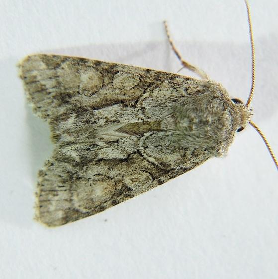 Neoligia canadensis - Hodges #9411.1 - Neoligia canadensis