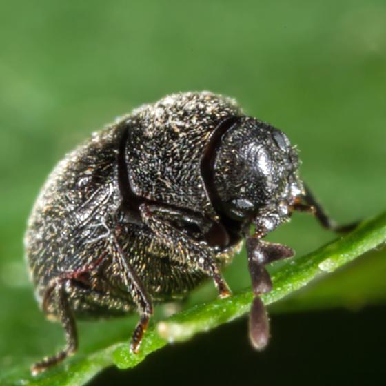 Unknown Tiny Beetle - Caenocara