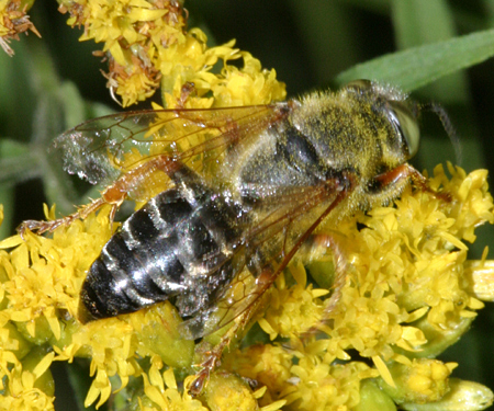 Wasp - Tachytes validus - male