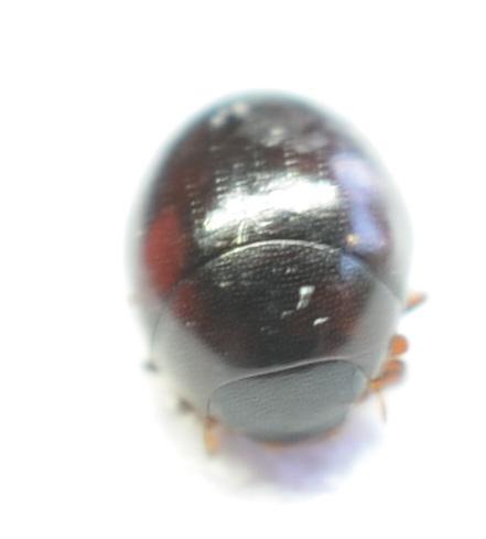 Water Scavenger Beetle- maybe Megasternum posticatum - Megasternum concinnum