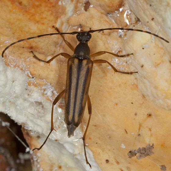 Beetle IMG_2067 - Analeptura lineola