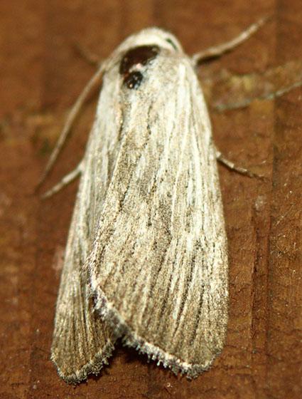 055  - Catabena lineolata
