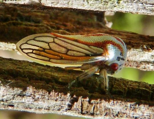 Little Treehopper - Platycotis vittata
