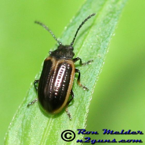 Yellowmargined Leaf Beetle - Microtheca ochroloma