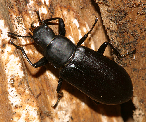 Darkling Beetle - Alobates pensylvanicus