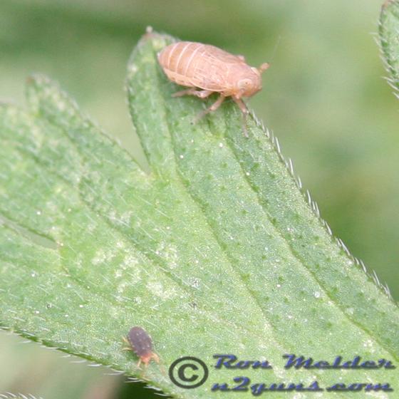 Spider mite - Kosswigianella