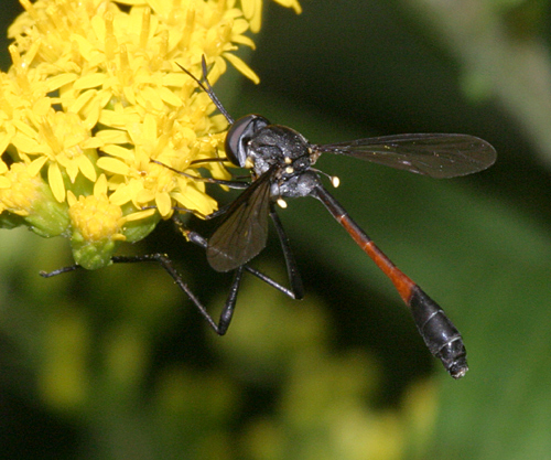 Bee Fly - Systropus macer