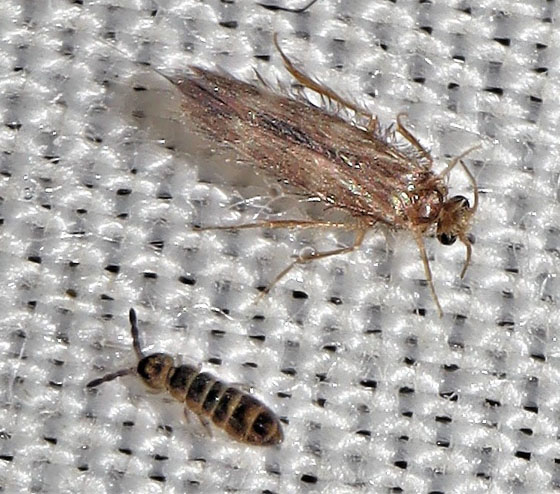 Another Collembola? - Desoria hoodensis