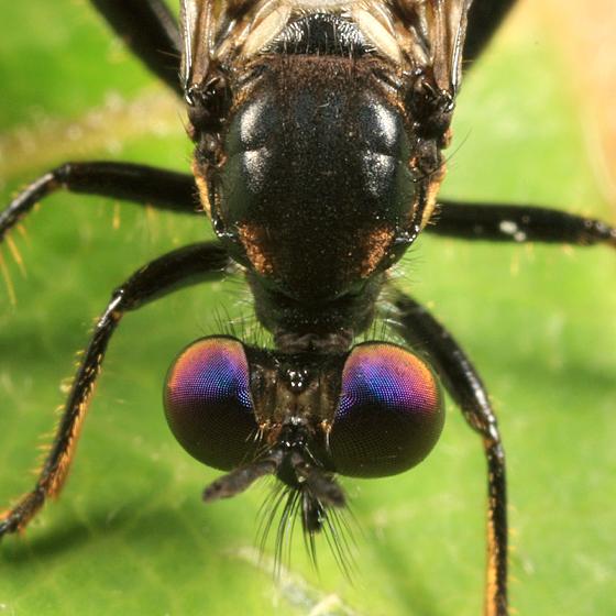 Purple eyed fly - Eudioctria albius - male