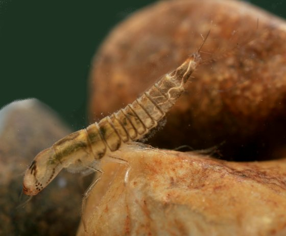 Beetle larva -- Rhantus sp? - Laccophilus