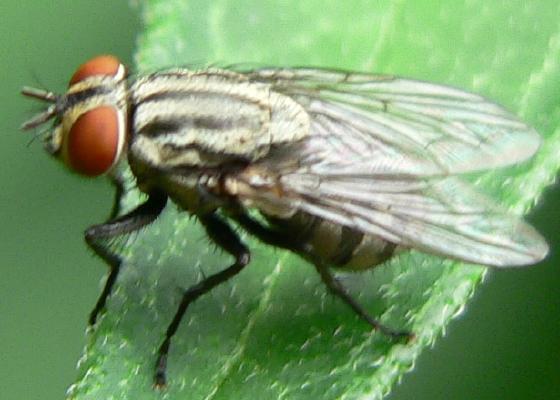 Stripey fly - possibe Ravinia? - Ravinia