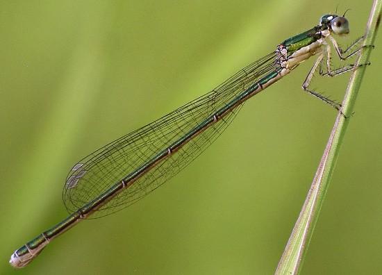 sedge sprite - Nehalennia irene - female