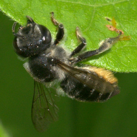 Leaf-cutter bee.  Megachile? - Megachile mendica