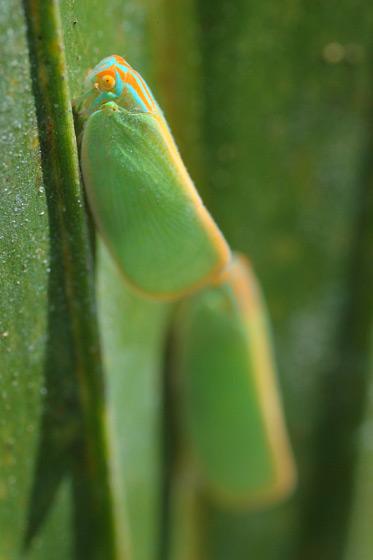 Ormenaria rufifascia