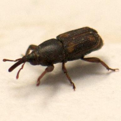Snout Beetle - Sitophilus