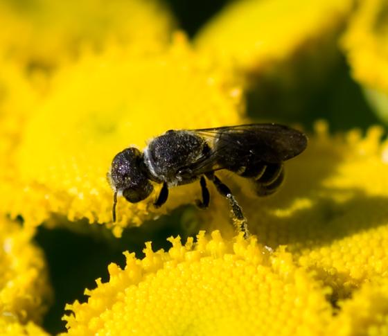 Tiny Bee - Heriades - female