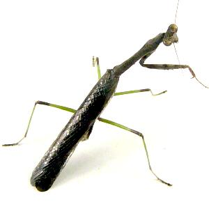 Carolina Mantis - Stagmomantis carolina - male