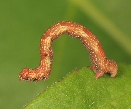 Geometrid caterpillar - Cyclophora pendulinaria