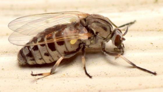 Diptera at Porch light - Simulium - female