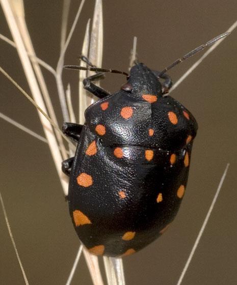 Scutelleridae - Pachycoris klugii
